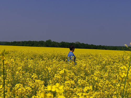 canola fields Real examples of hypersensitivity reactions